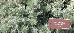 Artemisia annua: un antico rimedio