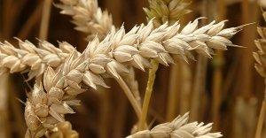 Germe di grano: un concentrato di energia e benessere
