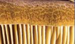 Polyporus umbellatus il fungo che protegge il sistema urinario