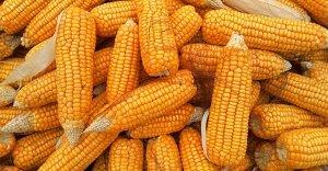 Fibre alimentari: scopriamo la fibra di mais